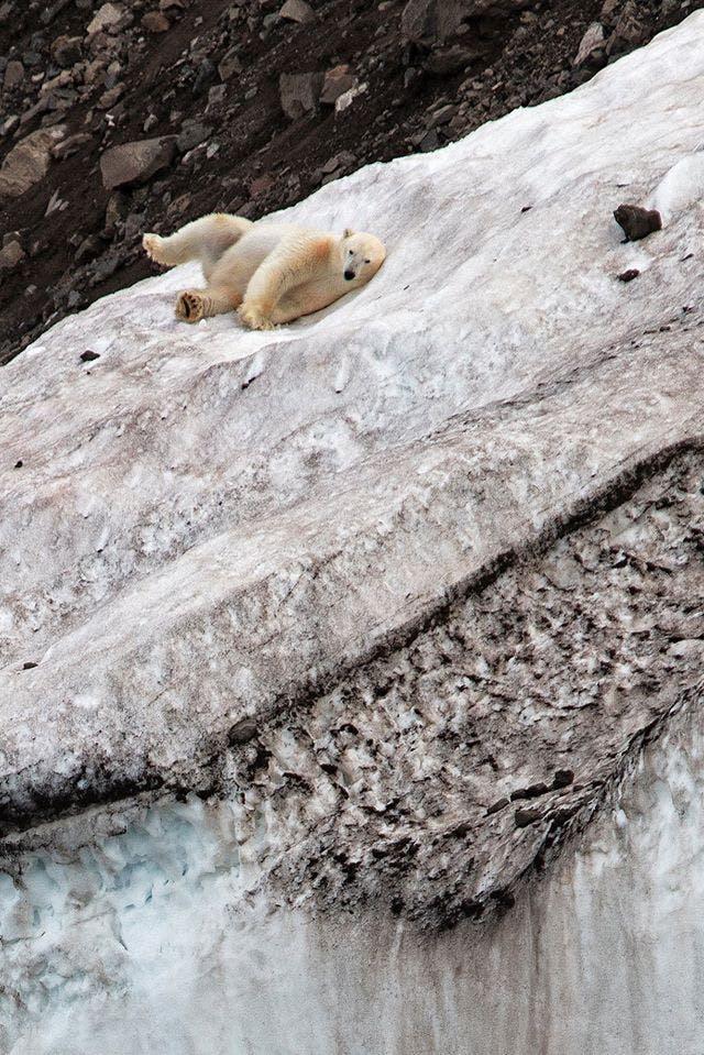 Polar bear playing on the ice