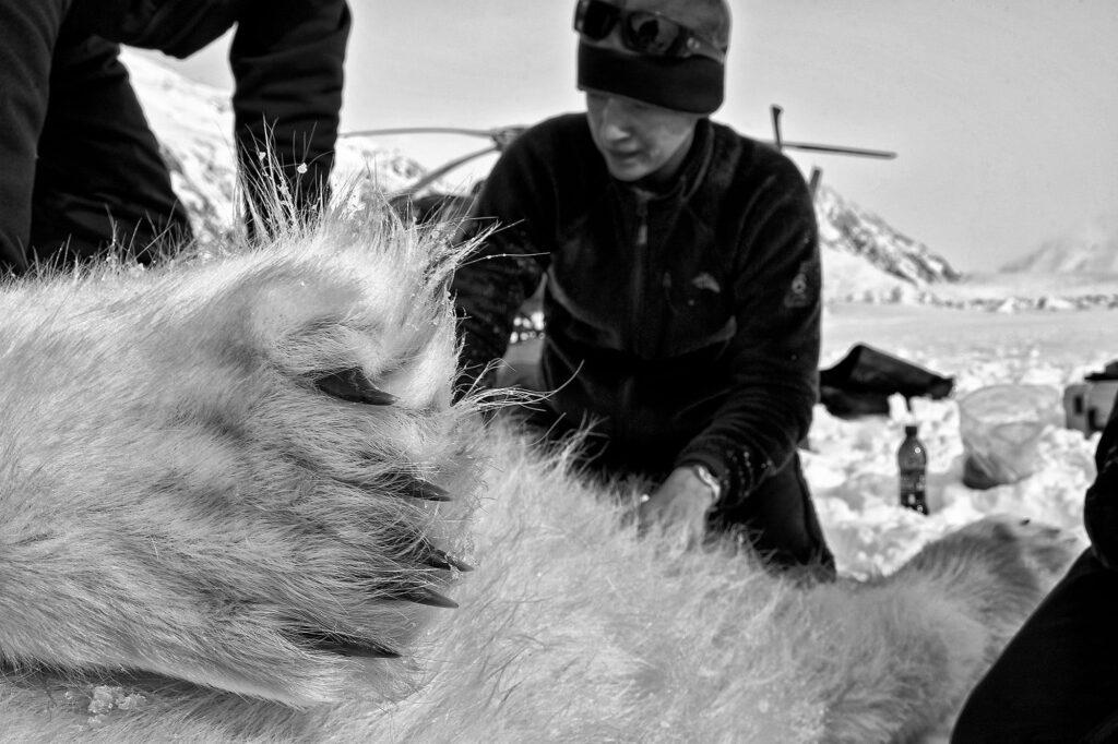 Dead Polar bear