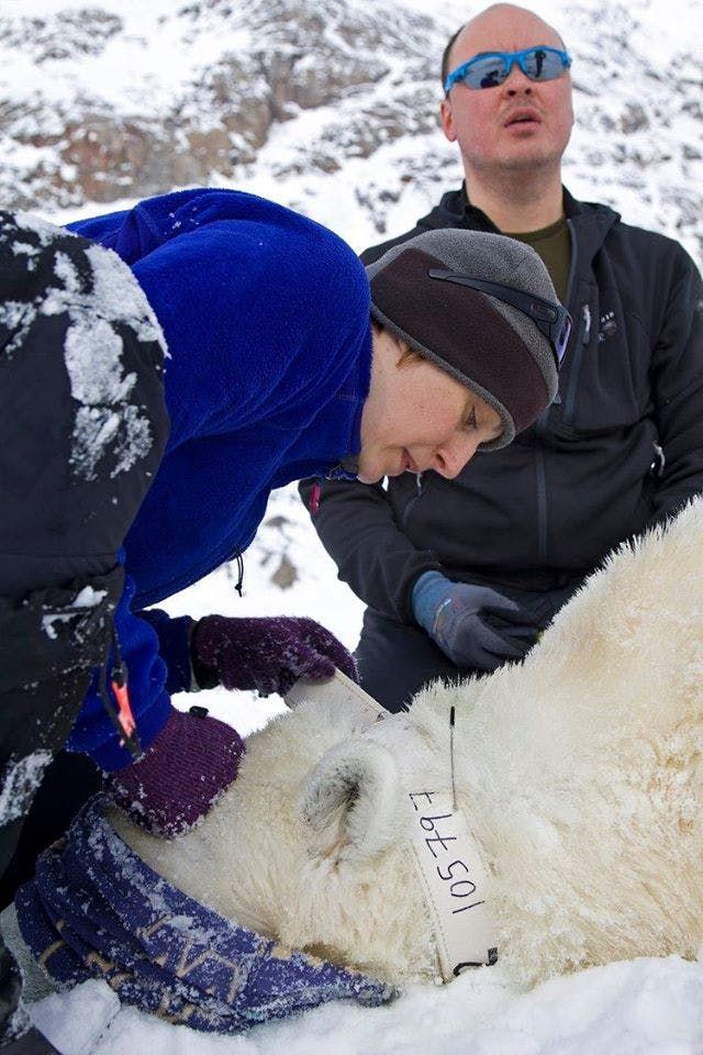 Measuring a dead polar bear
