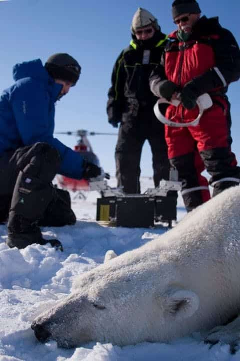Three men looking at a dead Polar bear