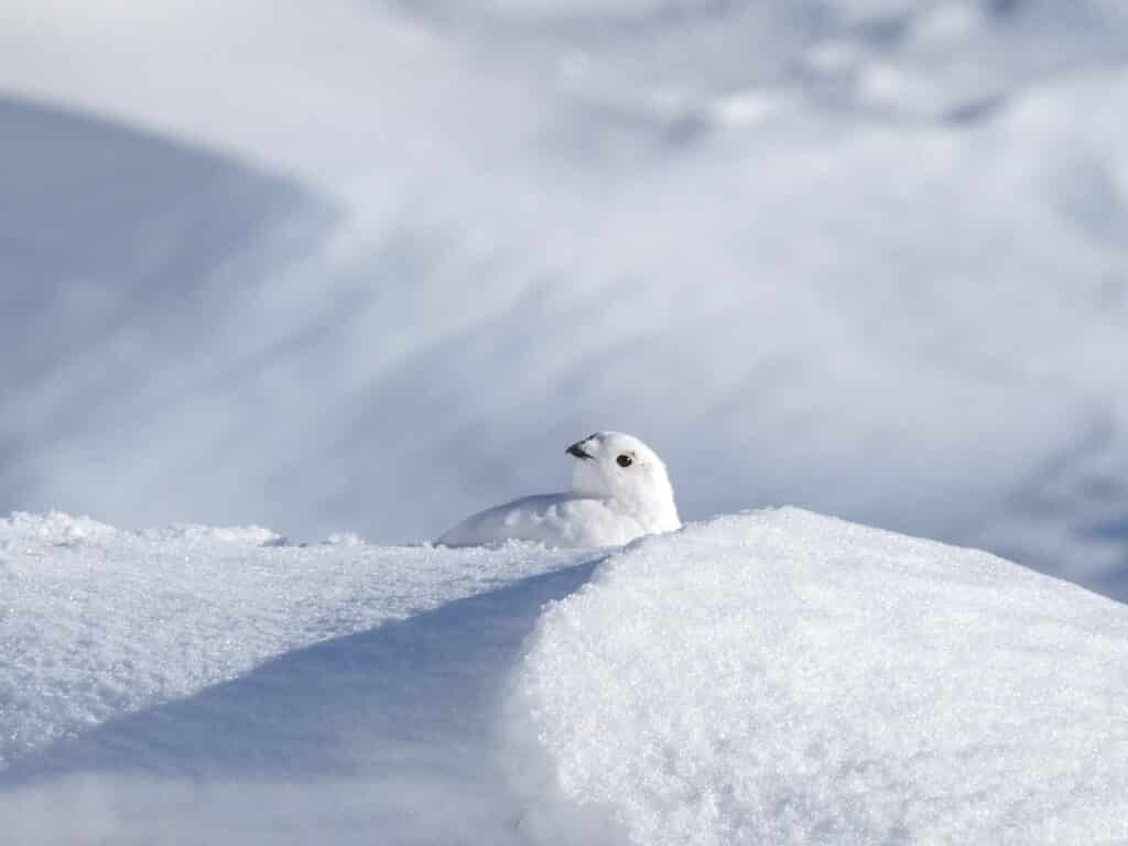 Cute white bird camouflaging in the snow