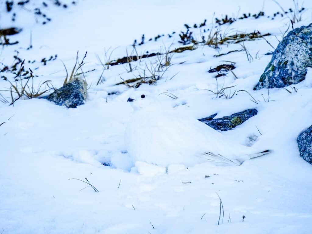 Cute bird covered in snow hiding