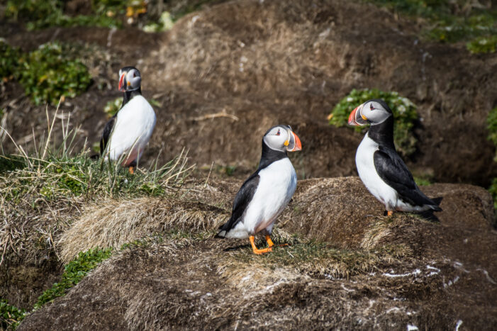Puffin Safari | Nuuk