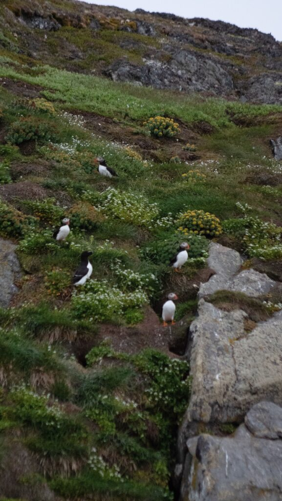 Puffins on the island outside Nuuk
