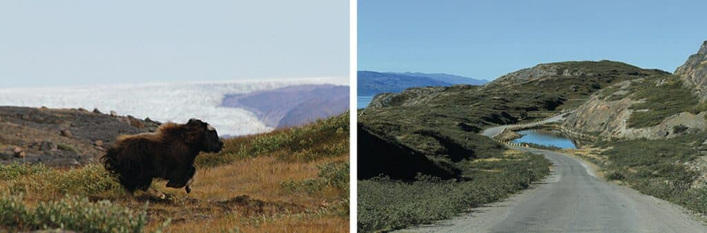 Running musk ox and beautiful landscape in Kangerlussuaq during summer