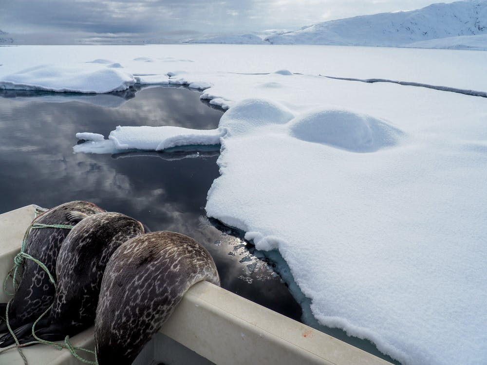 Three dead seals on a boat