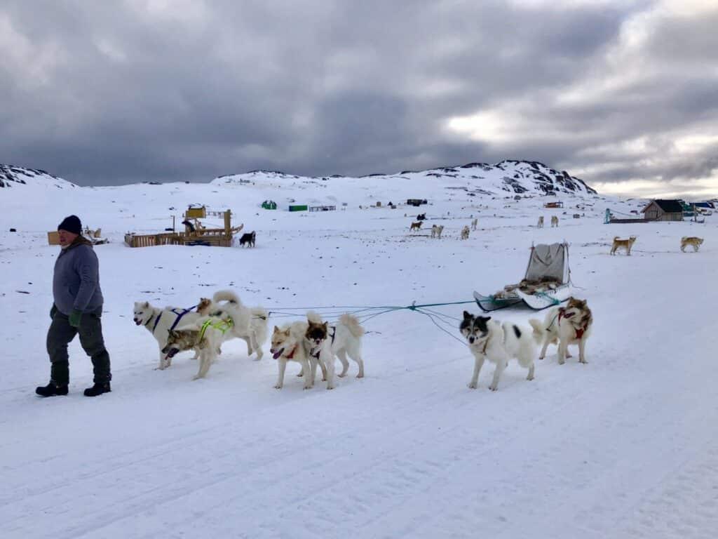Sled dogs running