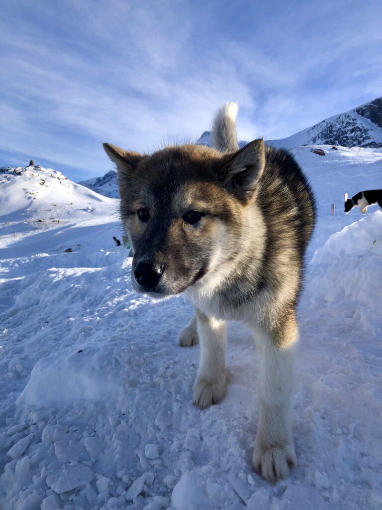 Cute sled dog