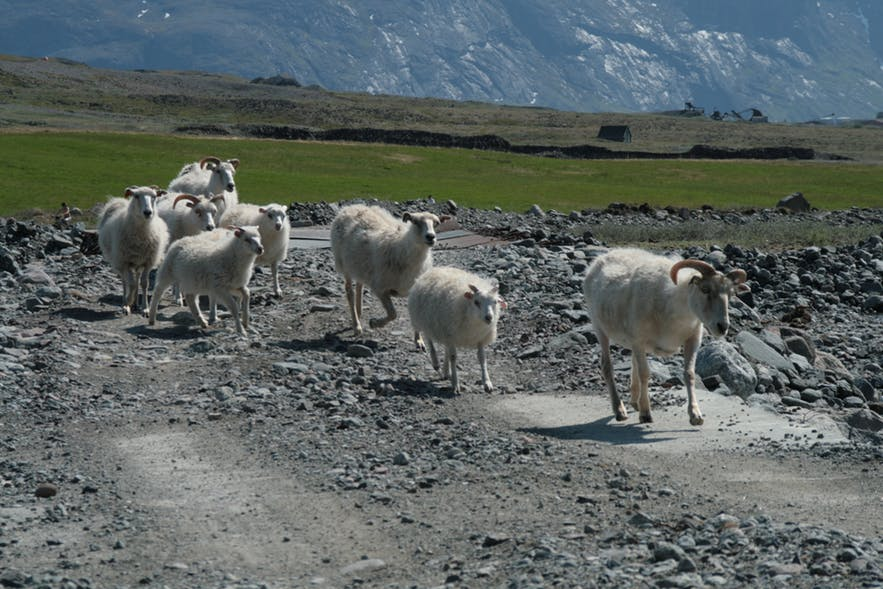 Herd of sheep in the south of Greenland