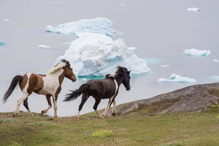 Beautiful horses running across a field with icebergs and the fjord in the background