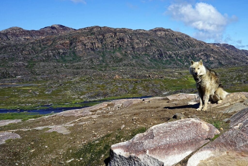 Adult female sled dog standing on a rock
