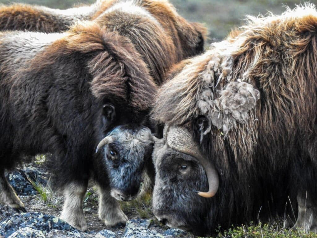 Two musk ox up close