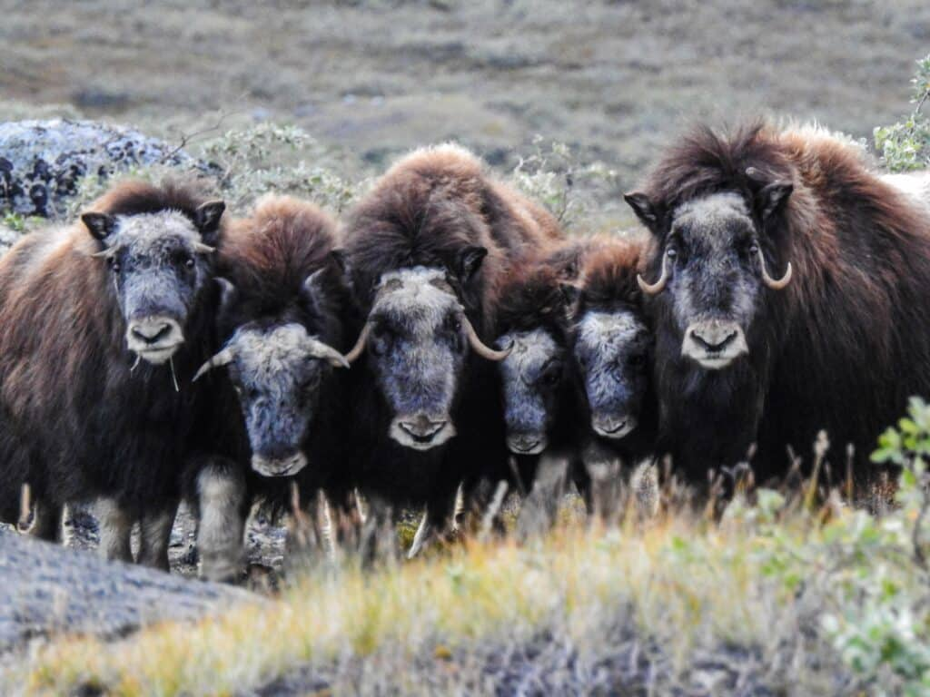 Six musk ox looking towards the camera
