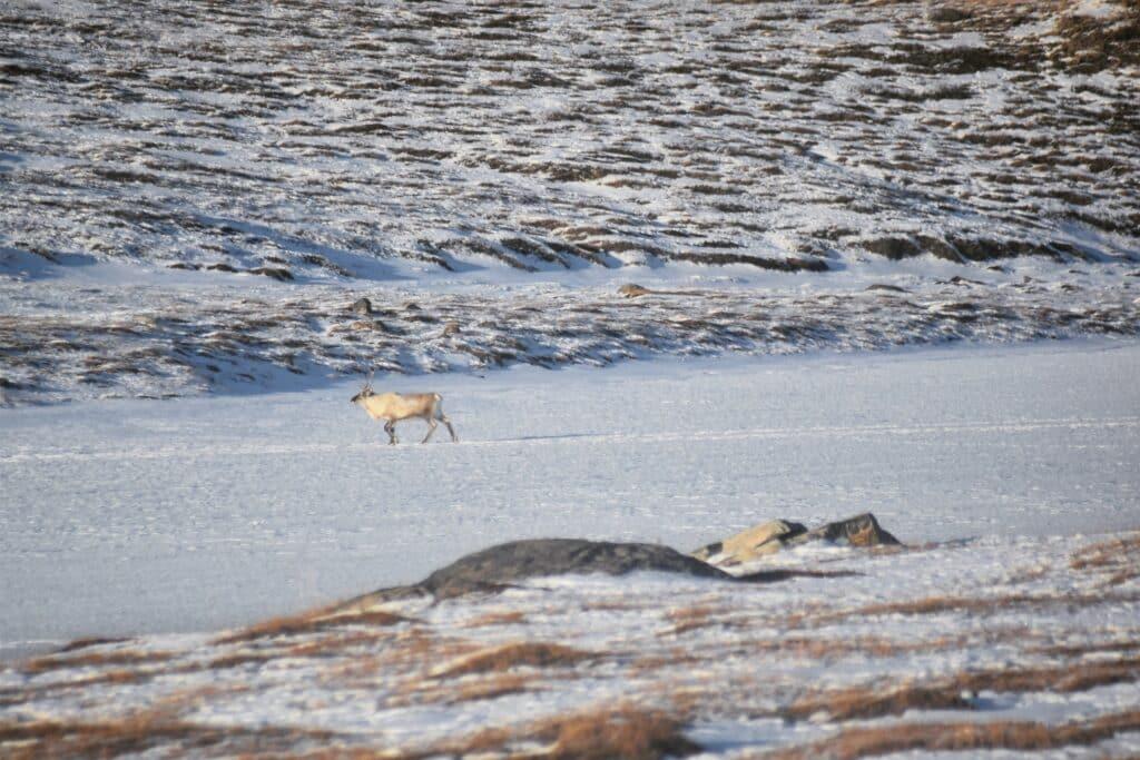 Reindeer walking in the snow