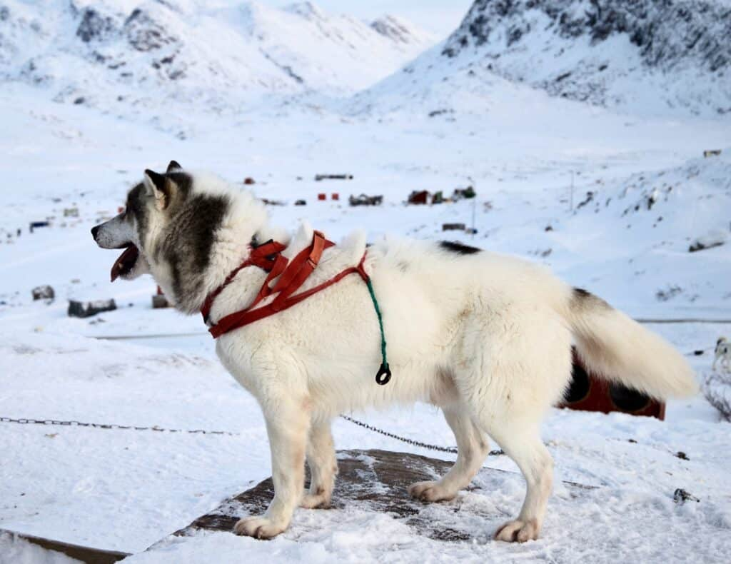 Sled dog in a chain