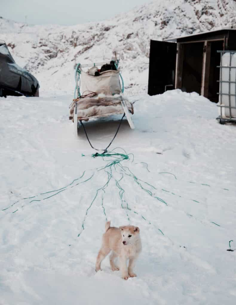 Puppy standing in front of a dog sled