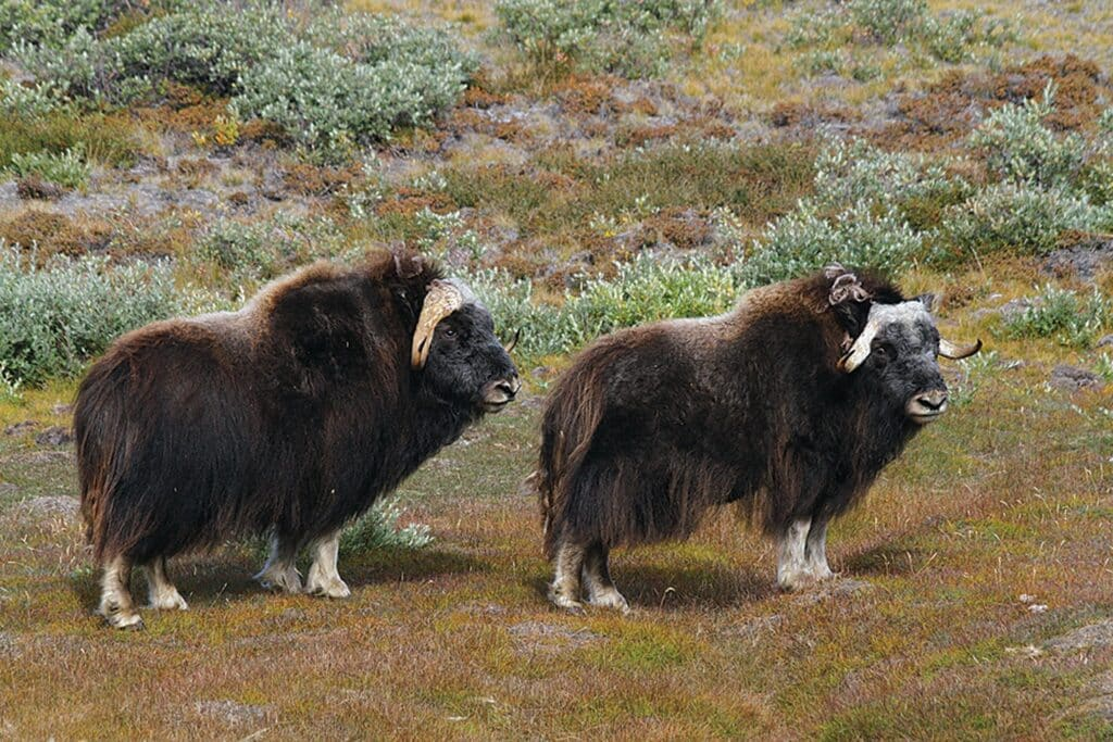 Two musk ox, Kangerlussuaq wildlife