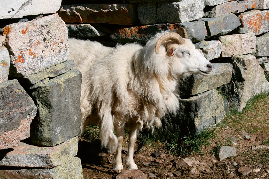 Sheep in old ruin