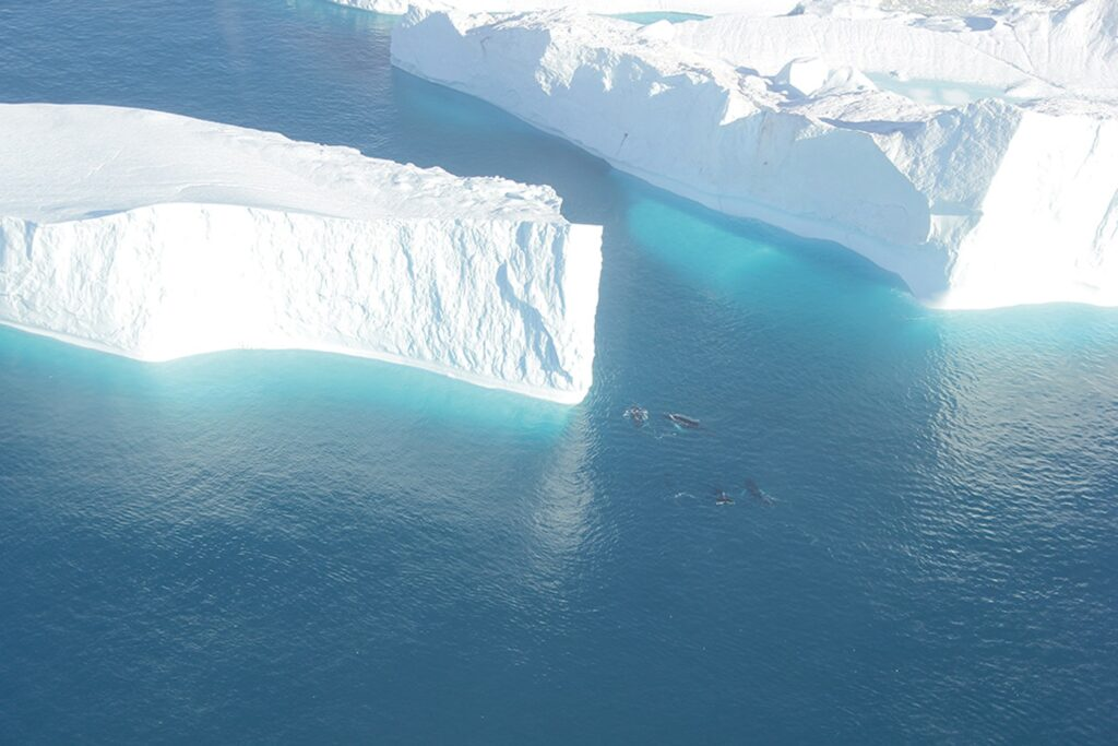 Humpback whales swimming next to enormous icebergs in Ilulissat Isfjord in Greenland
