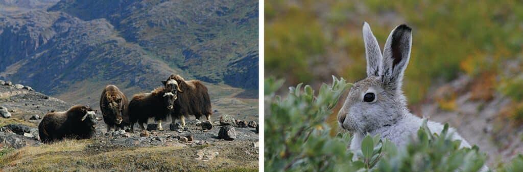 Kangerlussuaq wildlife, musk ox and arctic rabbit