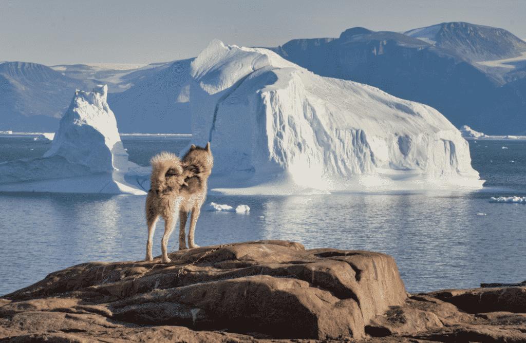 Sled dogs in Uummannaq
