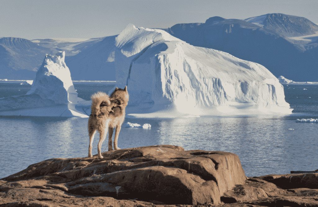 Dogsled standing on mountain side looking at the icebergs in the fjord