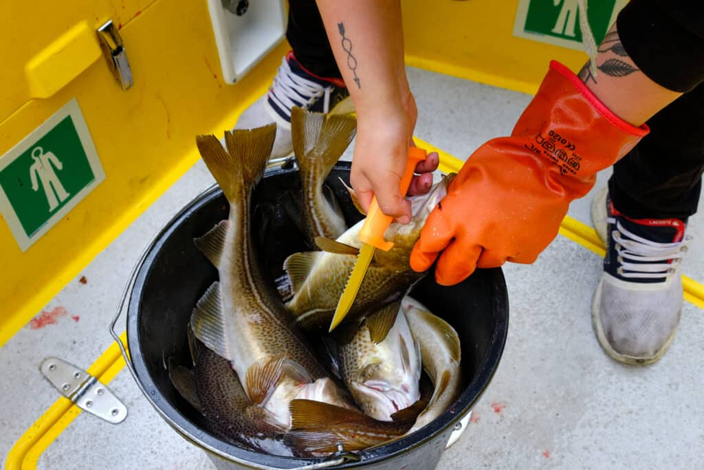 Bucket full of cod on a fishing boat tour in the Nuuk Fjord - summer - Guide to Greenland