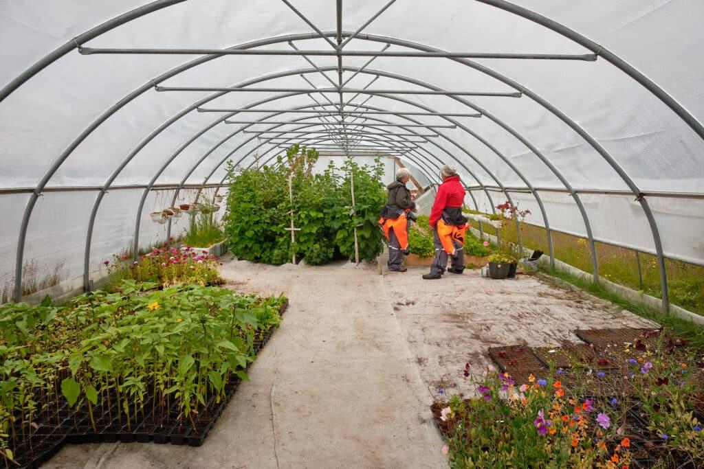 Inside a greenhouse at Upernaviarsuk research station near Qaqortoq