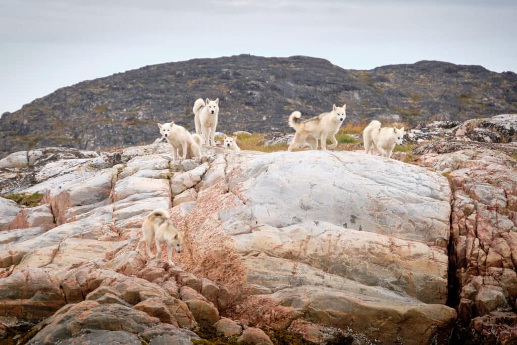 Greenlandic Sled Dogs roaming free on an island near Aasiaat
