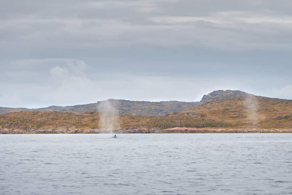 Whale blows near Aasiaat