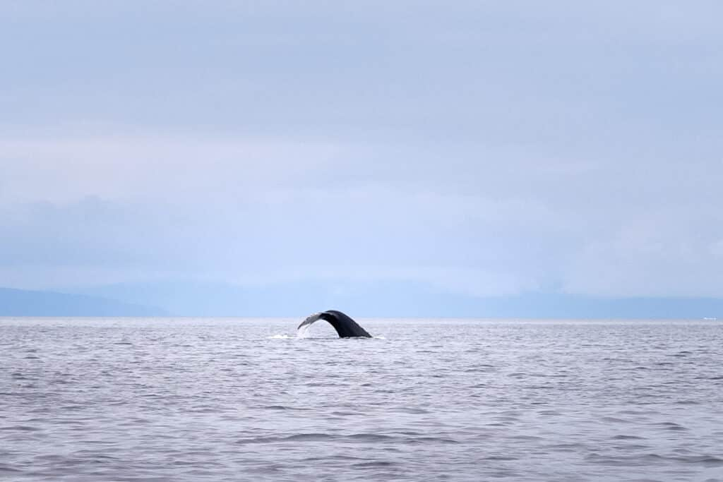 Whale til on a whale watching trip near Aasiaat