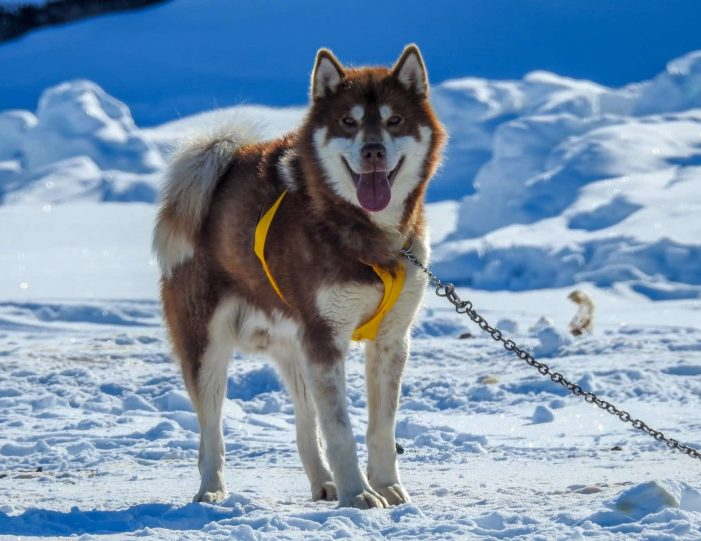 2-hours-of-dogsledding-ilulissat-Guide to Greenland9