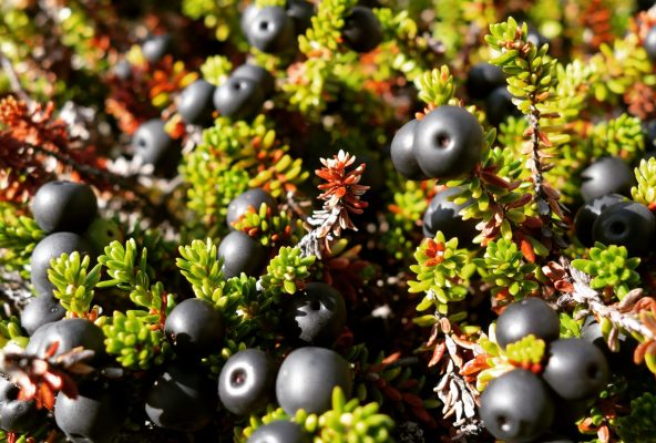 Berry picking in Nuuk, Greenland - Guide to Greenland6