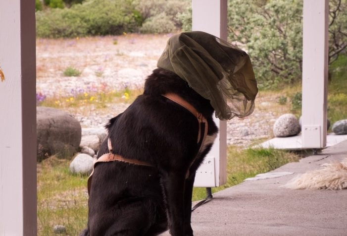 Even-the-dogs-wear-head-nets-in-Greenland-summer-Guide-to-Greenland