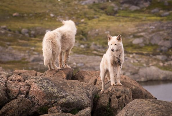 Greenlandic-Sled-Dogs-Kulusuk-Guide-to-Greenland-2
