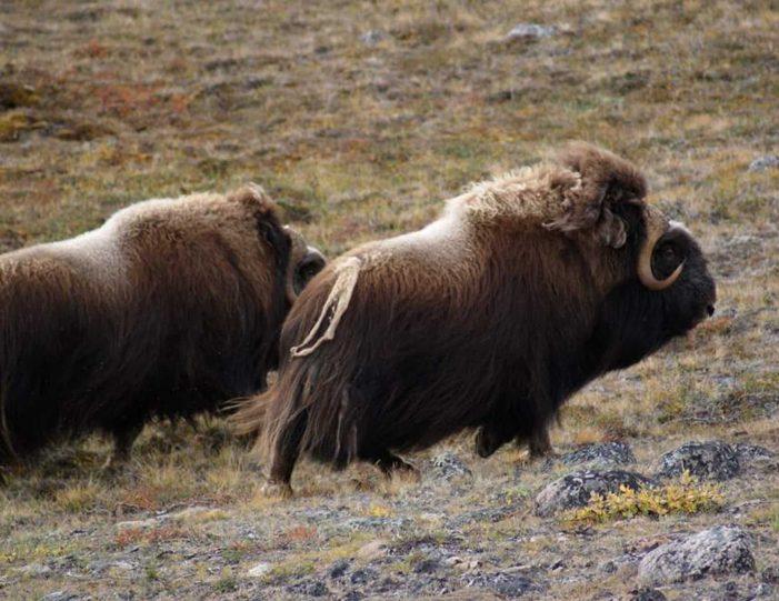 Hiking, Kayaking & Camping   Musk Ox Lake   Kangerlussuaq - Guide to Greenland19