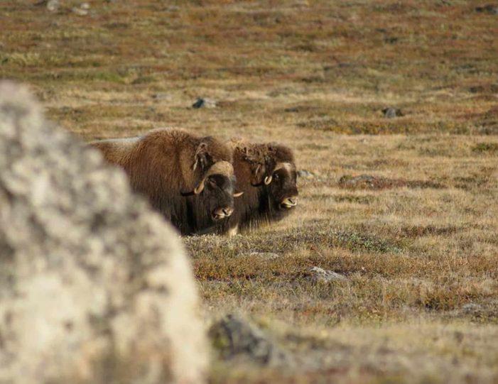 Hiking, Kayaking & Camping   Musk Ox Lake   Kangerlussuaq - Guide to Greenland21