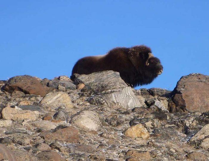 Hiking, Kayaking & Camping   Musk Ox Lake   Kangerlussuaq - Guide to Greenland22