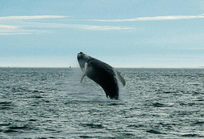 Jumping Humpback whales by Carsten Egevang