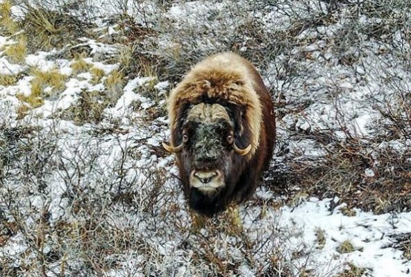 Muskoxen and Men - The Inuit Hunting Tradition - Guide to Greenland1
