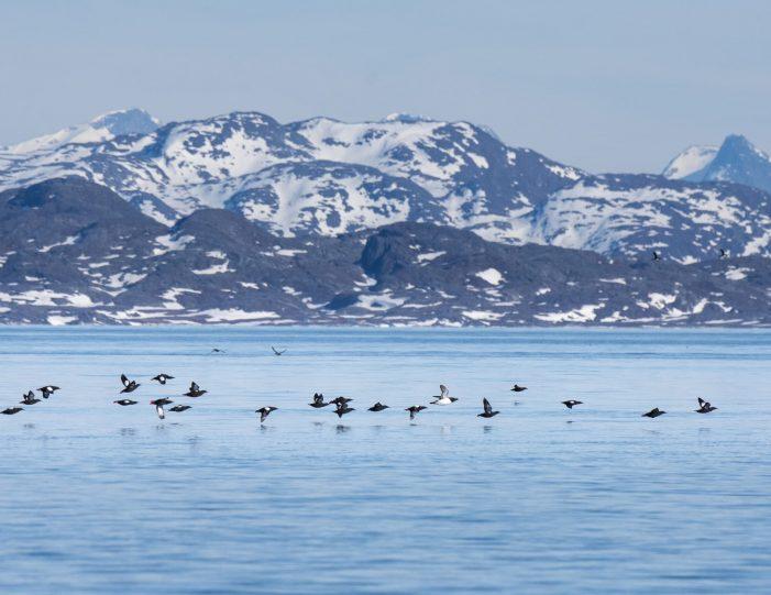 Puffin safari- Boat tour-Nuuk- Guide to Greenland