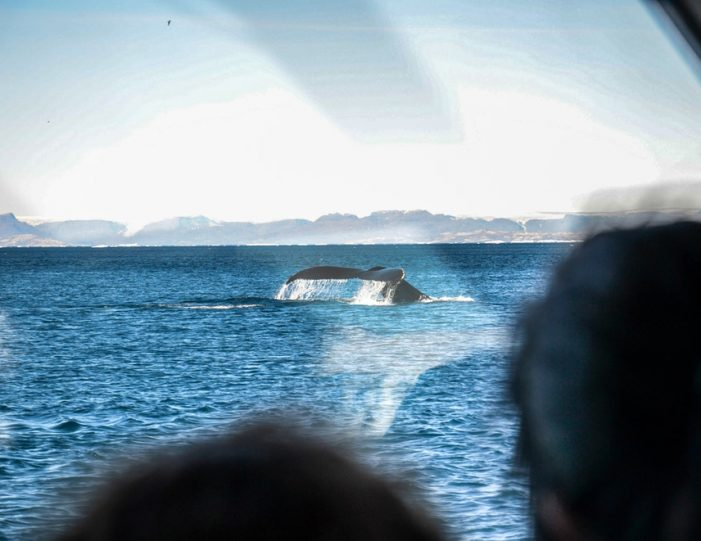Whale Watching Uummannaq North Greenland - Guide to Greenland1