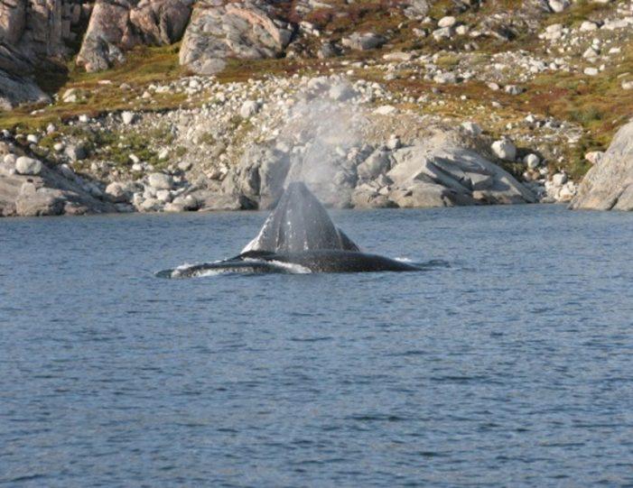 Whale Watching Uummannaq North Greenland - Guide to Greenland3