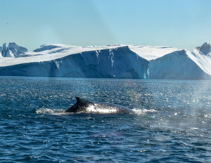 Whale Watching Uummannaq North Greenland - Guide to Greenland4
