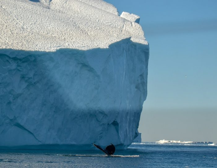 Whale Watching Uummannaq North Greenland - Guide to Greenland5