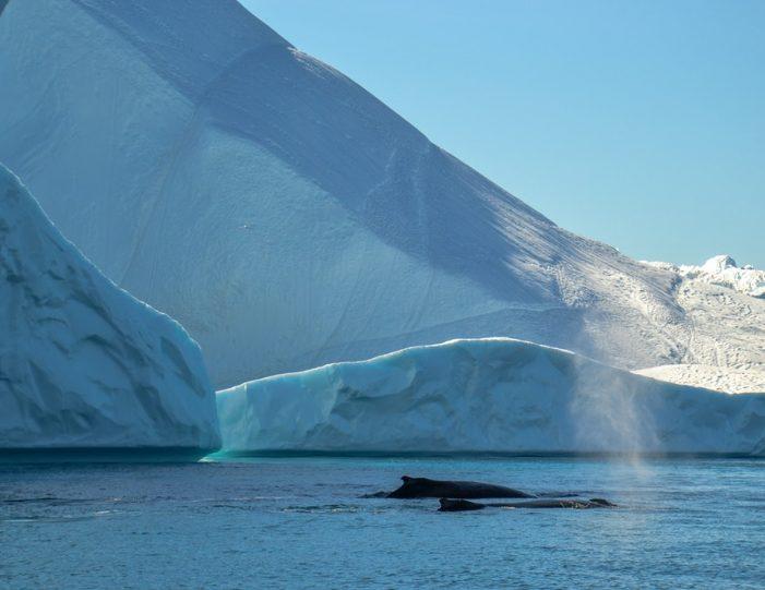 Whale Watching Uummannaq North Greenland - Guide to Greenland6
