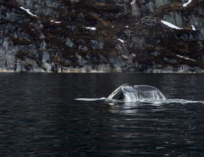 Whale tail in Nuuk fjord- boat tour- Guide to Greenland