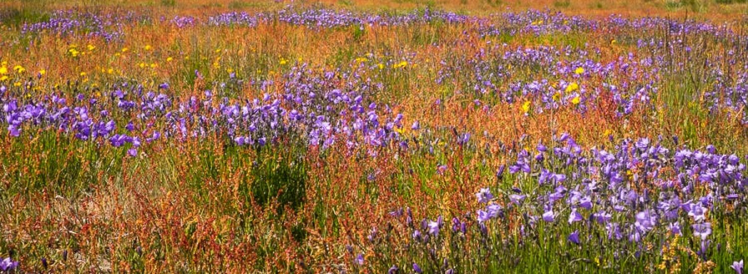 Wildflowers of South Greenland - Guide to Greenland (3)