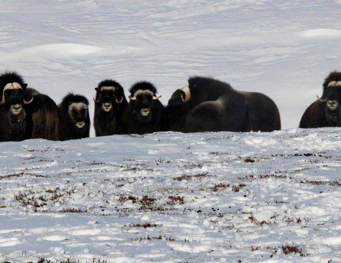 arctic-wildlife-safari-8-days-ittoqqortoormiit-east-greenland-Guide to Greenland11