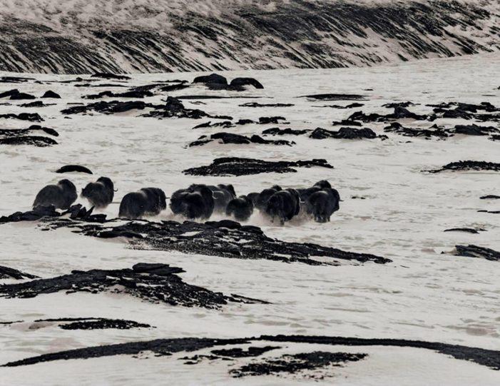 arctic-wildlife-safari-8-days-ittoqqortoormiit-east-greenland-Guide to Greenland12